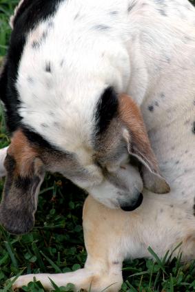 La PEA, una sostanza naturale simile alla Marijuana, è in grado di controllare le allergie cutanee dei cani.