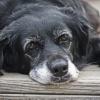 Controlli di base nel cane anziano