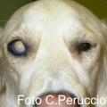 Glaucoma canino: un rischio condiviso con l'uomo