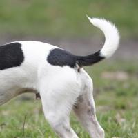 Segnali di coda: comunicazioni dal mondo canino