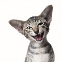 La stomatite felina