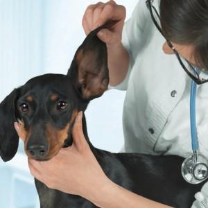Veterinaria esamina le orecchie di un bassotto