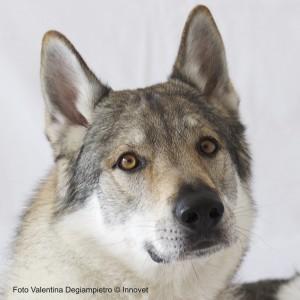 Ritratto di cane lupo ceccoslovacco