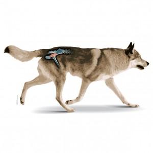 Cane Lupo Cecoslovacco con articolazione dell'anca in evidenza
