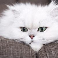 I talloni di Achille del gatto Persiano