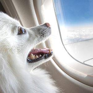 Paura di volare? Con un cane accanto ti passa!