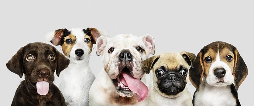 Razza, età e stato riproduttivo incidono sul rischio di alcune malattie del cane