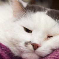 Le infezioni virali favoriscono il declino cognitivo del gatto anziano