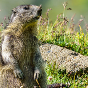 Caccia alle marmotte: una sentenza ne conferma l'illegittimità